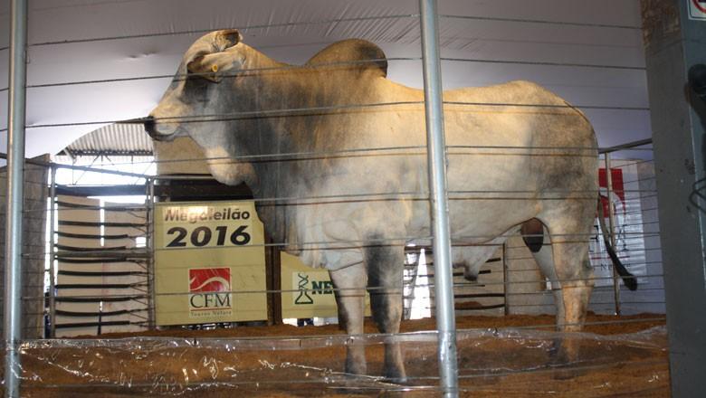 touro-Consagrado-megaleilão-nelore-CFM (Foto: Divulgação)