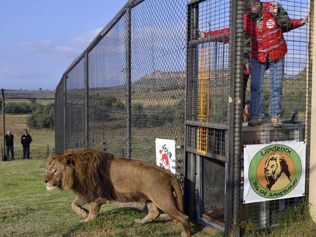 Momento em que o leão Tarzan é solto por ativistas do Four Paws (Foto: Reuters/Mihai Vasile/Four Paws/Divulgação)