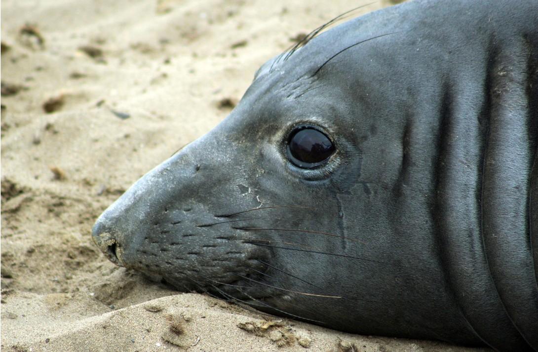 Elefante-marinho bate recorde ao nadar quase 6 mil km para oeste (Foto: )