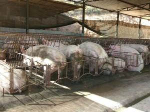 Animais estavam em sítio em Dores do Turvo (Foto: PM/Divulgação)