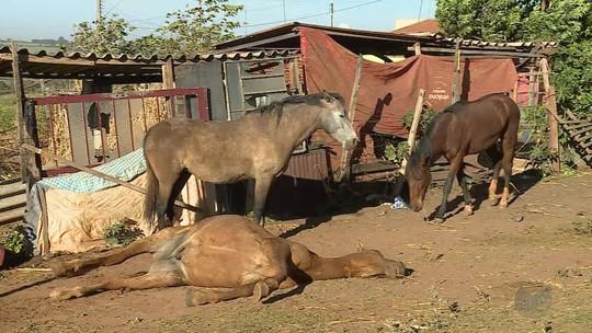 Polícia coleta amostras de cavalos mortos e confirma intoxicação em Orlândia, SP