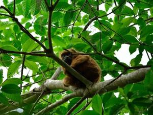 Macaco bugio, espécie ameaçada de extinção que vive na Floresta da Cicuta (Foto: Arquivo/ICMBio-ARIE Floresta da Cicuta)