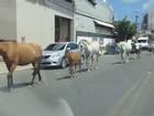 Sete cavalos são flagrados andando soltos pelo trânsito de Olinda