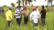 Projeto tenta melhorar produção de arroz no MA