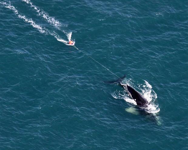 A baleia Eg 3911 é vista presa em rede de arrasto. Cientistas afirmam que técnicas de pesca reduzem a capacidade de migração e caça das baleias e podem provocar a morte delas (Foto: Cortesia de EcoHealth Alliance)