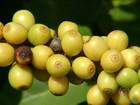 Estiagem obriga agricultores de São Paulo a atrasarem a colheita do café