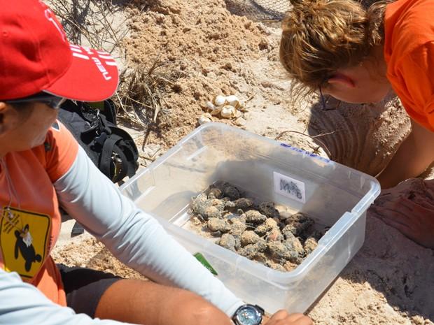 Na manhã desta quarta-feira (22) 61 tartarugas marinhas nasceram em um dos ninhos protegidos da praia de Intermares, em Cabedelo, na Grande João Pessoa. Rita Mascarenhas, fundadora da ONG Guajiru, que tem a tarefa de proteger as tartarugas marinhas que visitam e desovam na orla da Paraíba, informou que é feito um caminho protegido para que os animais caminhem até o mar. (Foto: Walter Paparazzo/G1)