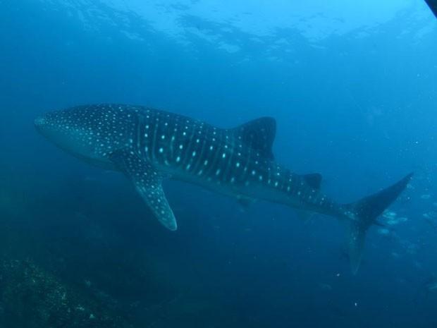 Tubarão-baleia de quase 8 metros de comprimento foi avistado na Laje de Santos (Foto: João Paulo Scola/Operadora Pé de Pato )