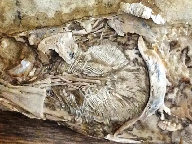 Peixe encontrado no Brasil é chamado de Rhacolepis. (Foto: Divulgação)