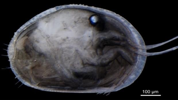 O esperma fossilizado mais antigo do mundo foi encontrado no interior de uma espécie de crustáceos (Foto: Divulgação)