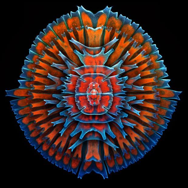 Imagem composta mostra uma única célula de uma alga de água doce (Foto: Divulgação/gor Siwanowicz/2013 Olympus BioScapes Digital Imaging Competition)