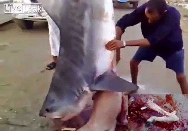 Pescadores sauditas se surpreenderam ao encontrar restos de ovelha no estômago de tubarão (Foto: Reprodução/LiveLeak/Dammam1998)