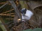 Pesquisadores da AM se mobilizam para preservar o macaco sauim