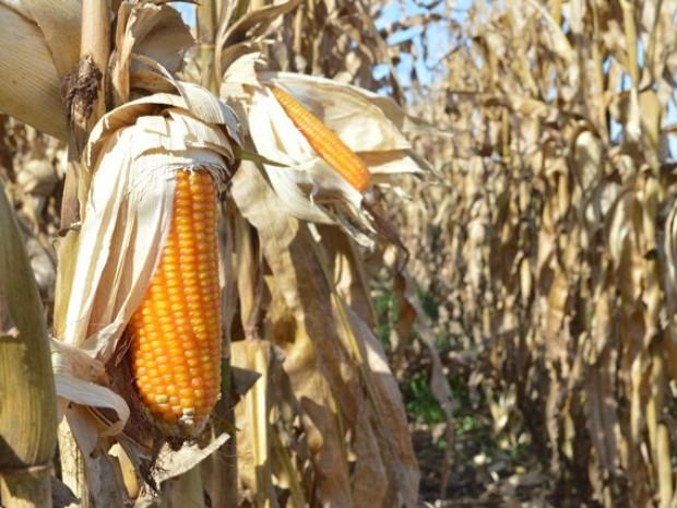 Estado deverá colher um volume menor de milho safrinha neste ciclo em razão da estiagem (Foto: Divulgação/Aprosoja/MS)