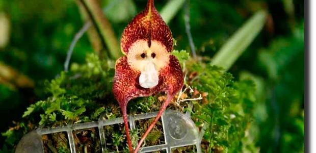 Orquídea cara de Macaco (Foto: Reprodução/ Belas Orquideas)