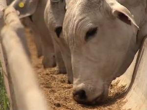 Simpósio em Campo Grande vai discutir o confinamento na pecuária de corte (Foto: Reprodução/TV Morena)