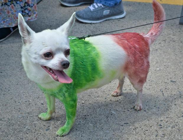 Cão da raça chihuahua desfilou pintado com as cores da bandeira mexicana (Foto: Mladen Antonov/AFP)