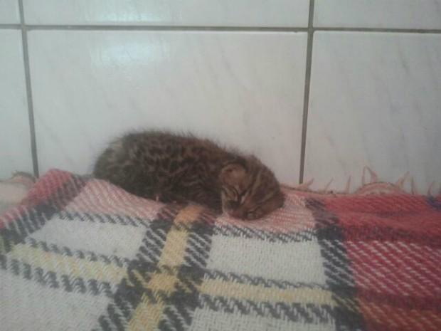 Filhote foi encontrado em cafezal em Tejupá (Foto: Adolfo Lima / TV TEM)
