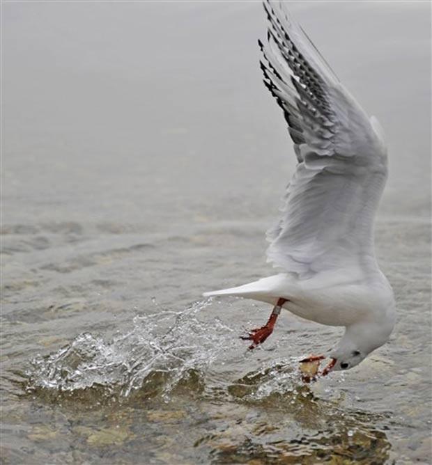 Em novembro de 2010, uma gaivota se contorceu toda para conseguir pegar um pedaço de comida no lago Ammersee, perto da cidade alemã de Herrsching. (Foto: Marc Müller/AFP)