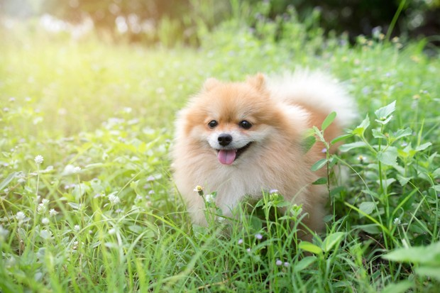 cute fluffy Pomeranian dog sitting in a spring park surrounded by yellow flowers on a sunny day (Foto: Getty Images/iStockphoto)