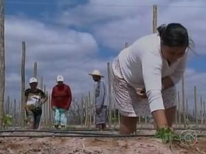 11 famílias participam do programa de plantio das uvas orgânicas no vale do São Francisco (Foto: Reprodução/ TV Grande Rio)