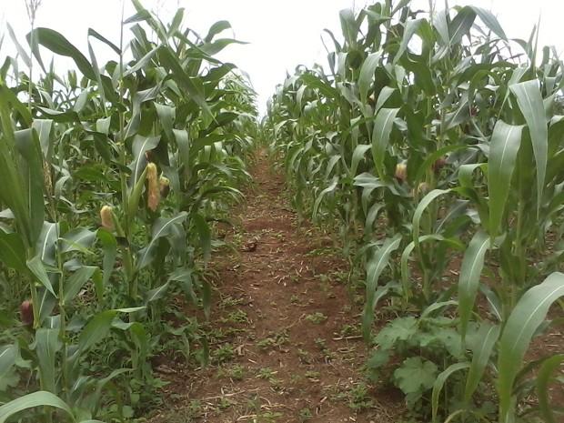 Plantio de milho feito por agricultores familiares no município de Açailândia, no Maranhão (Foto: Divulgação)
