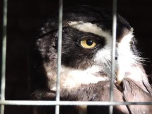 Murucututu é uma espécie de coruja em exibição no Zoo de Bauru (Foto: Alan Schneider/G1)