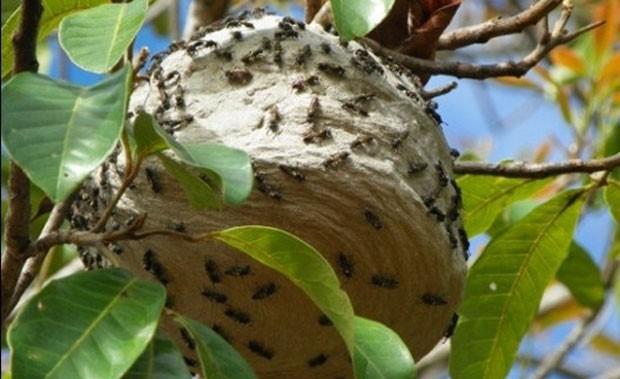 Pesquisadores usaram componente do veneno da vespa Parachartergus fraternus para tratar Parkinson em ratos (Foto: Márcia Renata Mortari/Divulgação)