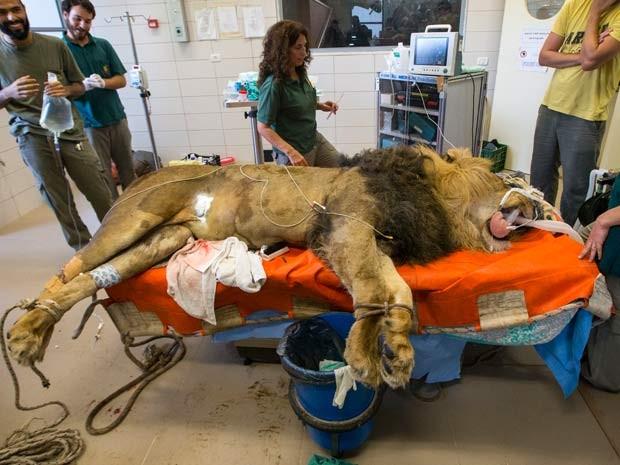 Leão passa por cirurgia em hospital veterinário de zoológico em Tel Aviv, nesta quarta-feira (29) (Foto: AFP PHOTO / JACK GUEZ)