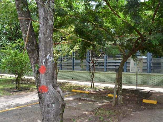 Árvores condenadas ficam próximas a prédios e calçadas (Foto: Stefhanie Piovezan/G1)