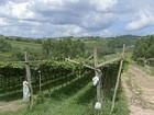Produção de uva melhora, mas preço também sobe e atinge R$ 6 na região