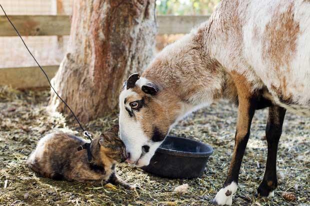 Gata de 5 meses interage com ovelha tosquiada (Foto: AP)