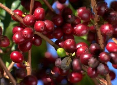 café-colheita (Foto: Reprodução/TV Globo)