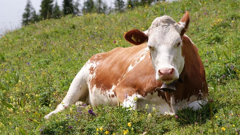 vaca-pasto (Foto: Wikimedia Commons)