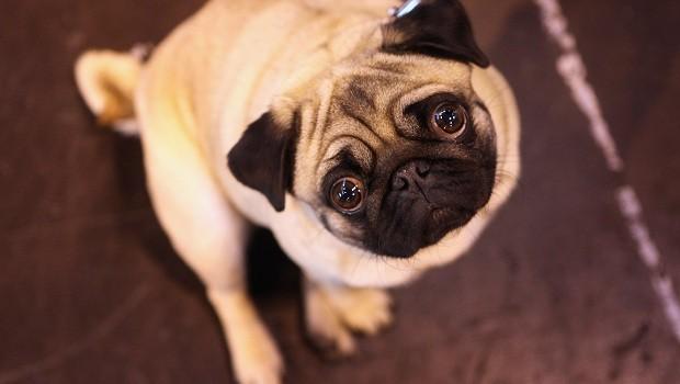 Cachorro; pug (Foto: Getty Images)