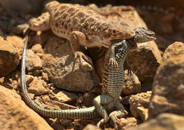 Lagarto leopardo de nariz comprido capturou rival de outra espécie (Foto: Reprodução/Facebook/Arizona Game and Fish Department)