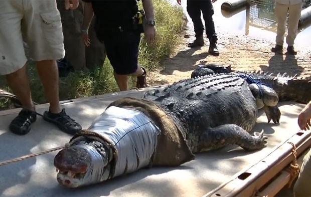 Crocodilo devorador de cães foi capturado no Território do Norte (Foto: Reprodução/Facebook/Northern Territory Parks and Wildlife)