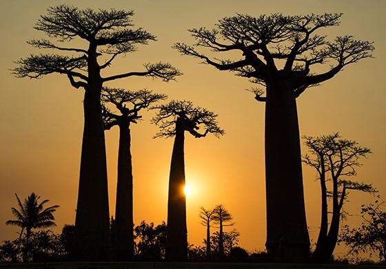 A Alameda dos Baobás na hora do pôr do sol, uma das paisagens mais belas da ilha  (Foto: © Haroldo Castro/ÉPOCA)