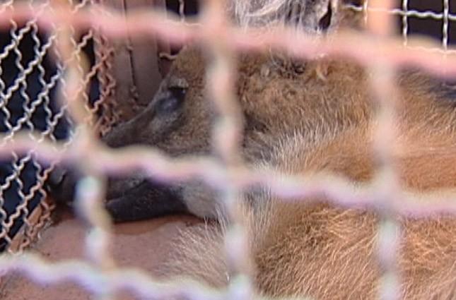 Lobo-Guará foi capturado em Uberaba (Foto: Reprodução/TV Integração)