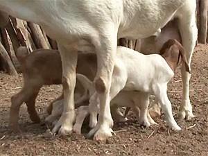 Cabra tem gestação com 5 filhotes e chama atenção na região norte da BA (Foto: Reprodução/TV São Francisco)