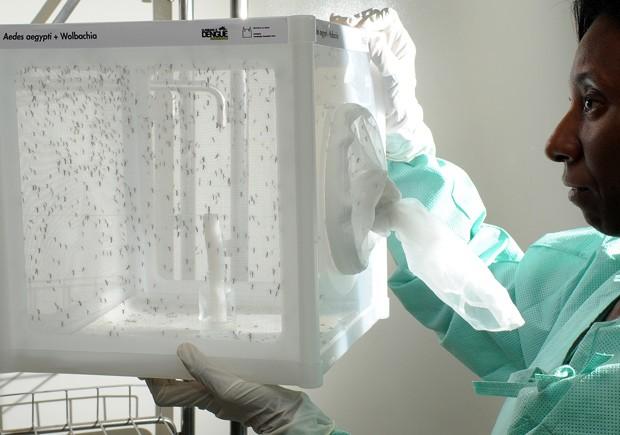 Fiocruz vai soltar Aedes aegypti com bactéria que impede que mosquito transmita dengue (Foto: Gutemberg Brito/Fiocruz/Divulgação)
