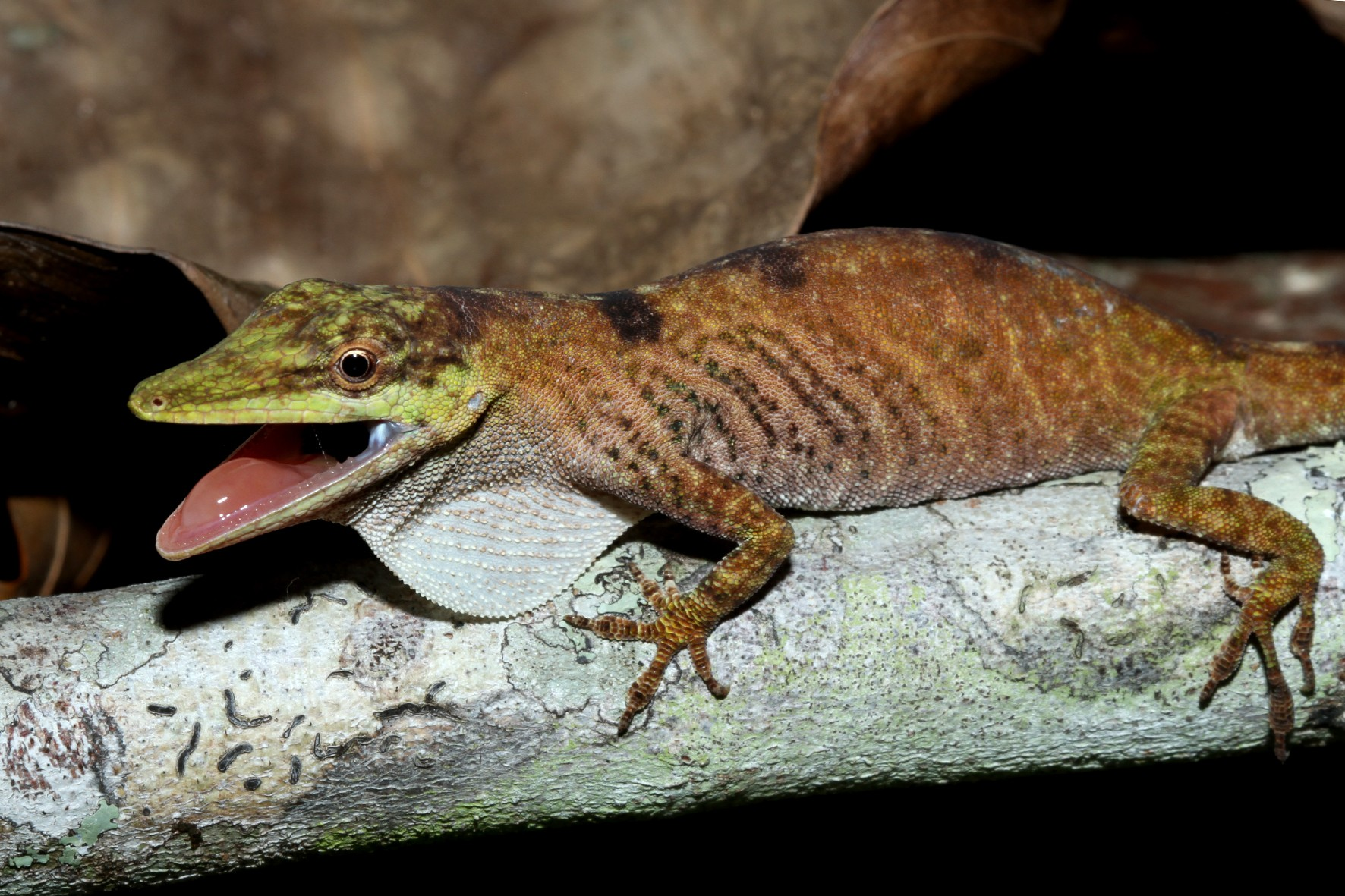 O lagarto papa-vento Anolis pseudotigrinus (Foto: Mauro Teixeira Jr./Divulgação)