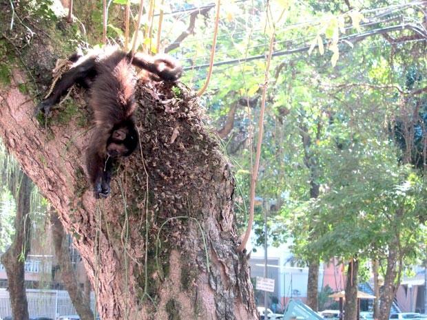 Um dos macacos foi encontrado morto numa árvore na Rua Conde Afonso Celso (Foto: Rodrigo Vianna/G1)