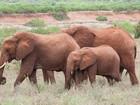 Homem morre pisoteado por manada de 15 elefantes no Quênia