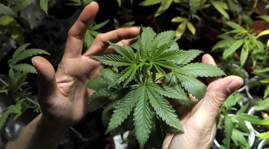 Jovem segura muda de cannabis produzida em sua casa, em Montevidéu, no Uruguai. Texto aprovado pela Câmara dos Deputados prevê o cultivo, distribuição e comércio da droga sob regulação do Estado (Foto: AP Photo/Matilde Campodonico)