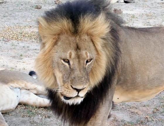 Foto de 2012 do leão Cecil no Hwange National Park, em Zimbábue (Foto: Paula French via AP)