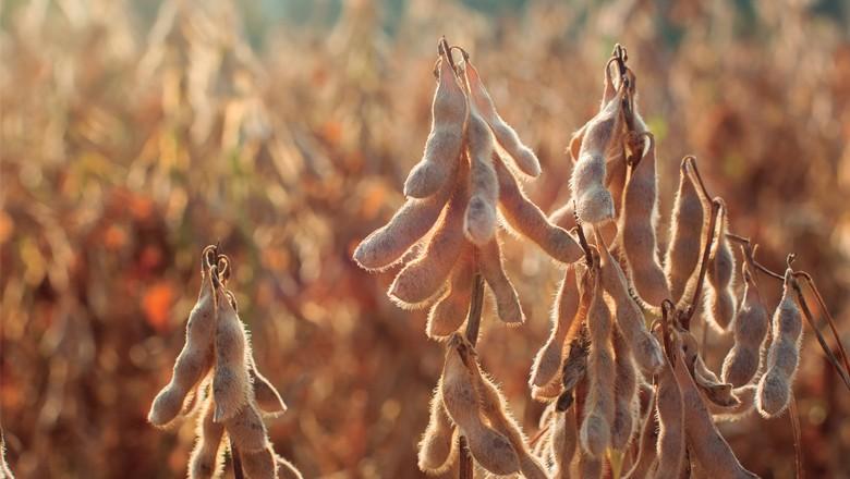 A ferrugem asiática reduz a produtividade da soja  (Foto: Thinkstock)