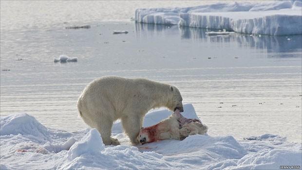 Em outra ocasião, a fotógrafa observou um outro tipo de busca. 'Este urso adulto matou um filhote para comê-lo, filhotes estão se transformando em uma fonte de alimentos relativamente fácil para machos adultos.' Acima, um urso canibaliza um filhote no Mar de Barents (Foto: Jenny Rose/BBC)