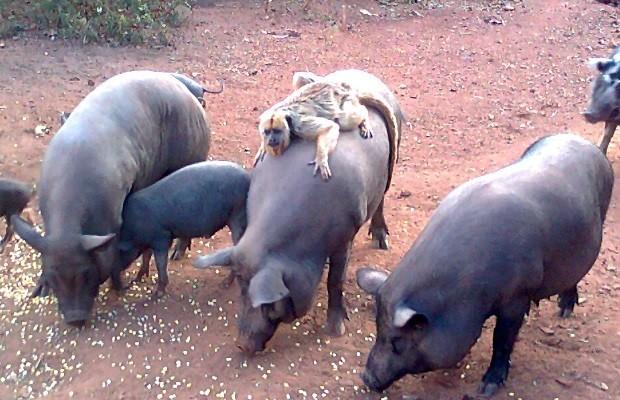 Macaco guia porcos em fazenda de Mineiros, GO (Foto: Renato Brandão/ VC no G1)