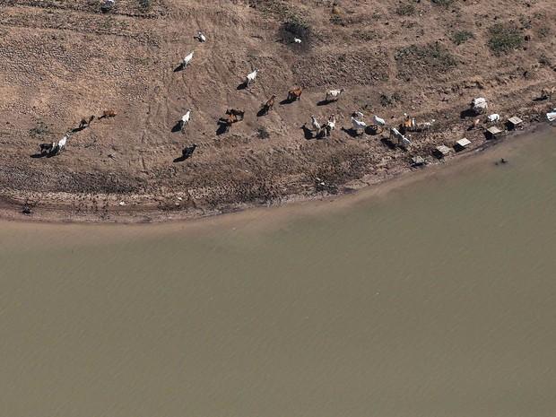 Animais são vistos à beira da água nas margens expostas da represa de Jaguari, parte do Sistema Cantareira, em Bragança Paulista (SP) (Foto: Nacho Doce/Reuters)